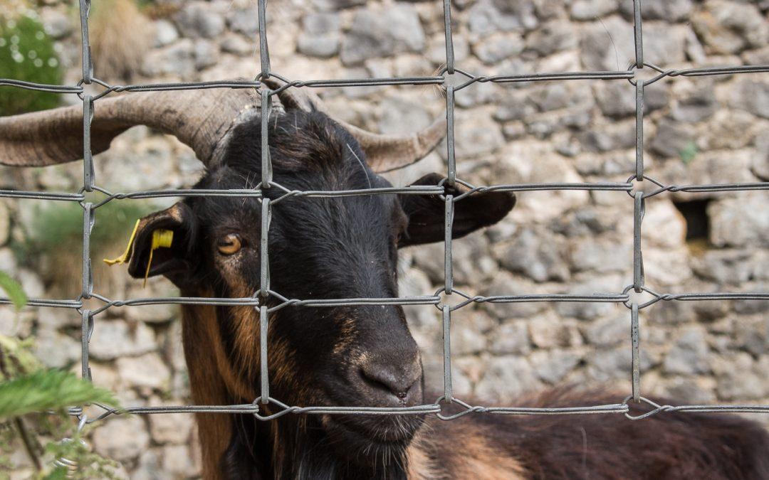 Reunión de pastores, oveja muerta